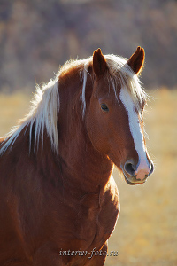 Лошади Алтая