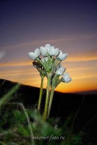 Цветы на склоне горы Сарлык, Алтай