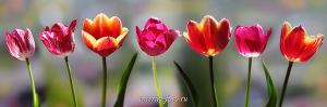 Панорамное фото Цветы - тюльпаны
