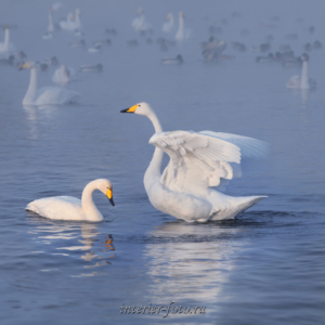 Квадратные фотографии Лебеди озера Светлого