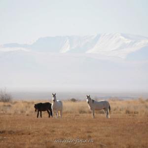 Лошади в Чуйской степи