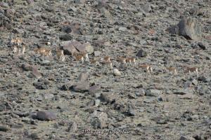 Дикие козы в Монголии