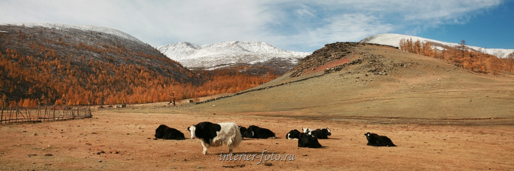 Яки-сарлыки в Монгольском Алтае