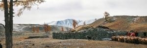 Стрижка овец в Монголии
