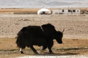 Як одно из распространенных домашних животных Монголии