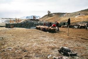 Стрижка овец в Монгольском Алтае