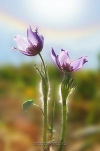 Цветы Алтая Подснежники сон-трава