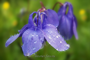 Цветы Алтая (5023)
