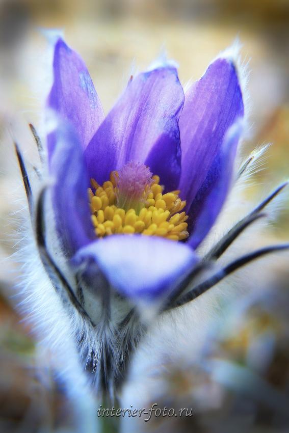 Цветы Алтая Подснежники