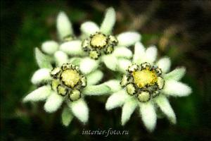 Дикие цветы Эдельвейсы