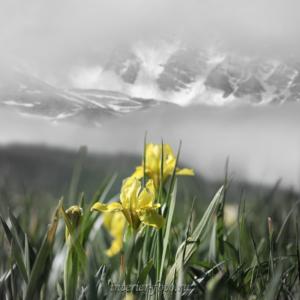 Черно-белая фотография с выделением цвета Ирисы