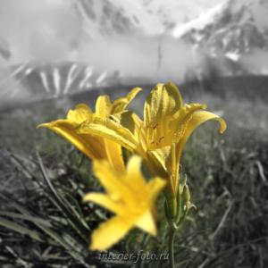 Черно-белая фотография с выделением цвета Лилии