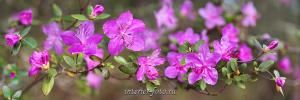 Панно Цветение маральника на Алтае
