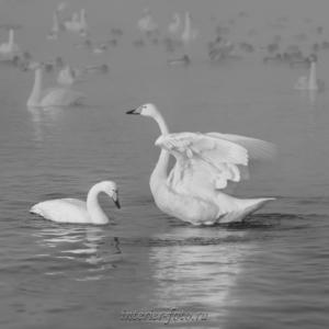 Черно-белое фото Лебеди