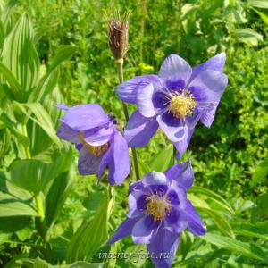 Цветы Алтая Водосбор