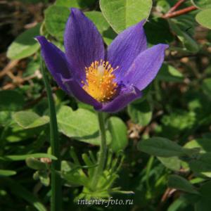 Цветы Алтая Сон-трава