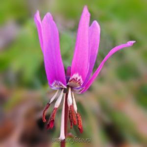 Цветы Алтая Кандык