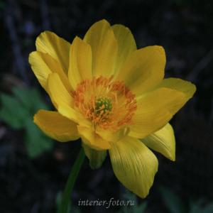 Цветы Алтая Горицвет
