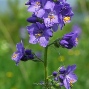 Цветы Алтая Синюха голубая