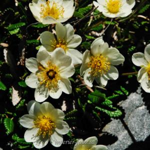 Цветы Алтая Дриада