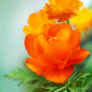 Цветы огоньки