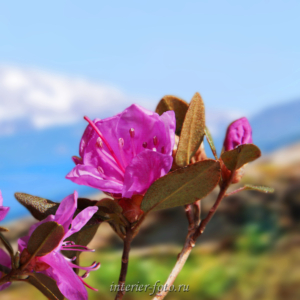 Фото цветов Маральник