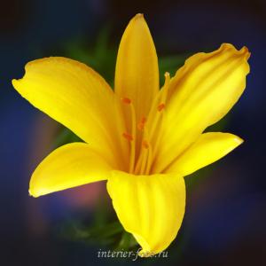 Фото цветов Лилия