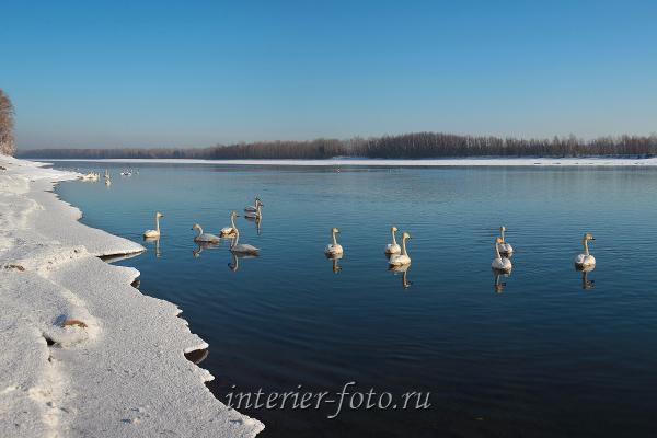 Лебеди на Бии. Алтай